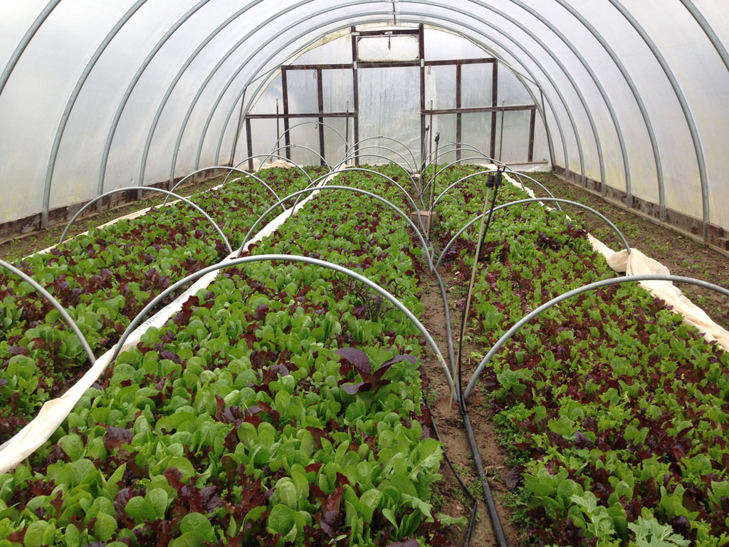 Inside view of a high tunnel greenhouse containing leafy greens