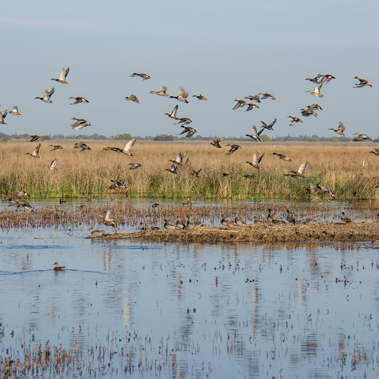 Geese flying over a wetland